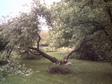 Downed apple tree